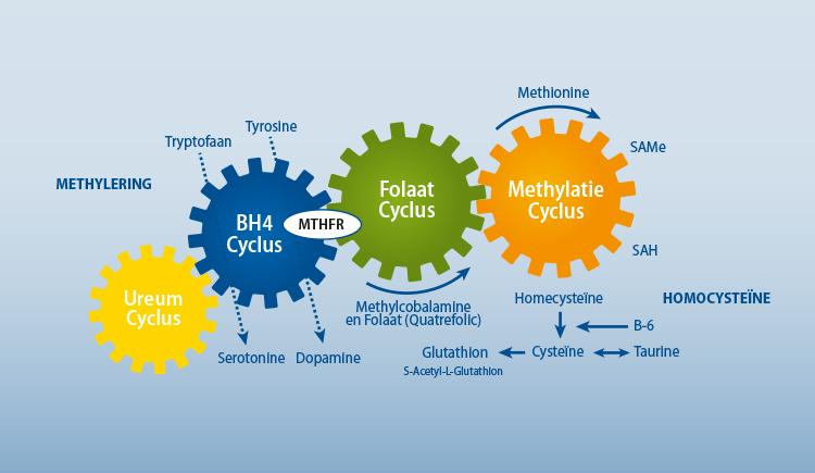 Methylation Cyclus