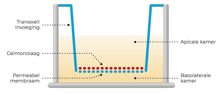 schematisch overzicht van het transwell syteem om de TEER vast te stellen
